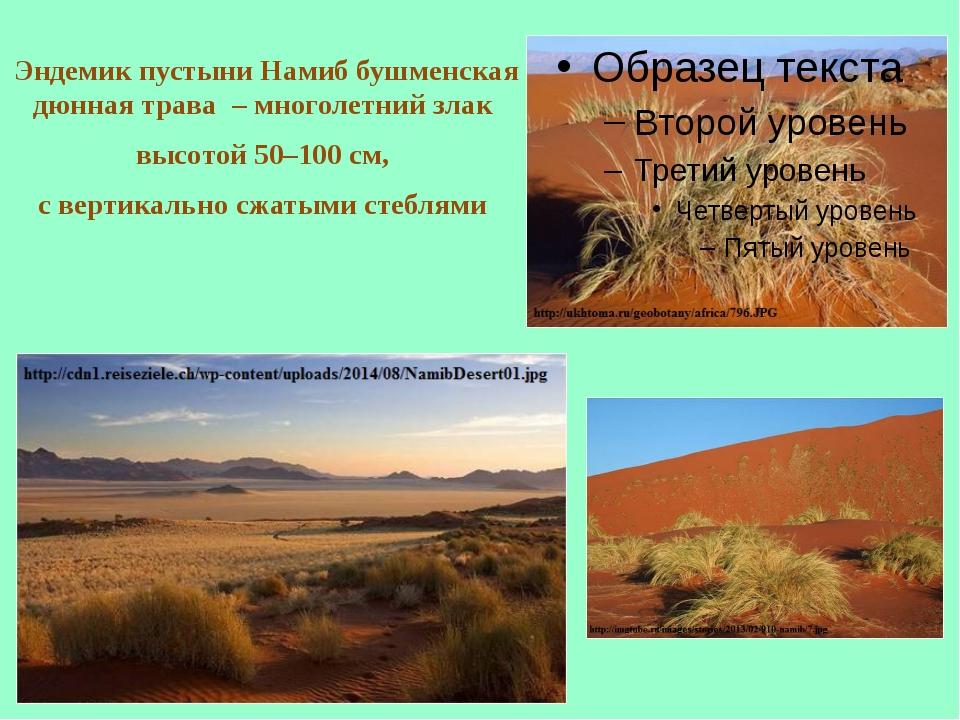 Эндемик пустыни Намиб бушменская дюнная трава – многолетний злак высотой 50–...