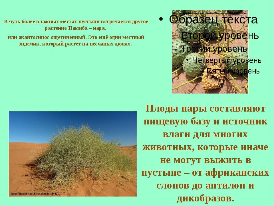 В чуть более влажных местах пустыни встречается другое растение Намиба – нара...