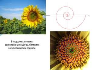 В подсолнухе семена расположены по дугам, близким к логарифмической спирали.