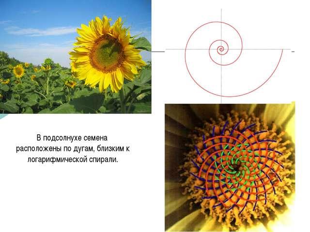 В подсолнухе семена расположены по дугам, близким к логарифмической спирали....
