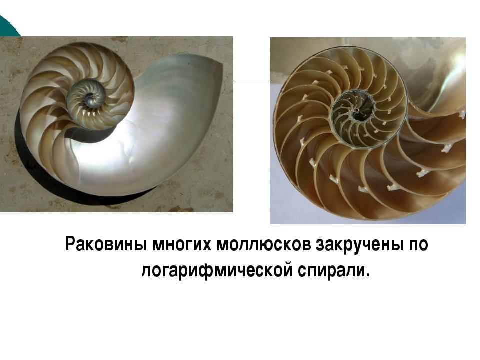 Раковины многих моллюсков закручены по логарифмической спирали. к содержанию
