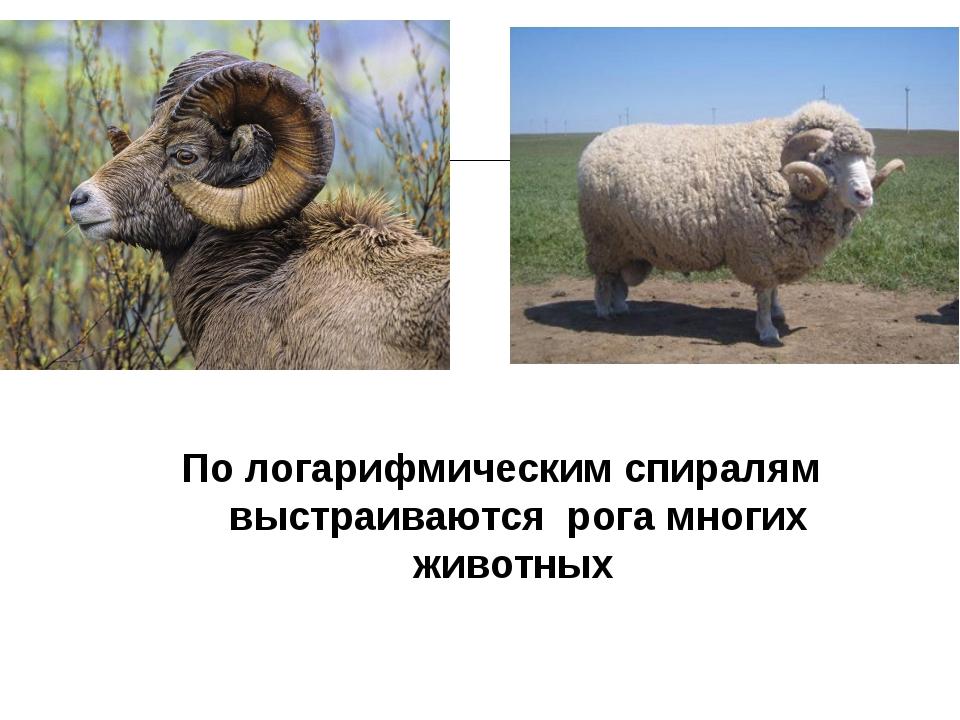 По логарифмическим спиралям выстраиваются рога многих животных к содержанию