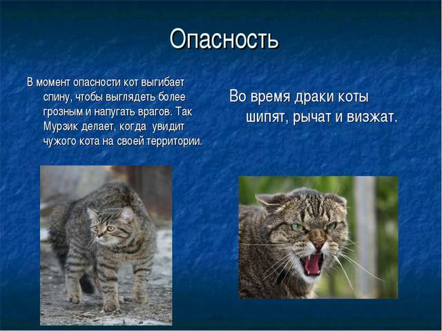Опасность В момент опасности кот выгибает спину, чтобы выглядеть более грозн...
