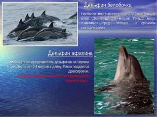 Дельфин белобочка Наиболее многочисленный вид дельфинов на море. Длина до 2-х