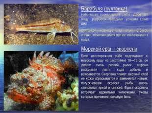 Барабуля (султанка) Небольшая промысловая рыба. Добывает пищу, разрывая тверд