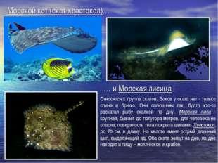 Морской кот (скат-хвостокол)… … и Морская лисица Относятся к группе скатов. Б