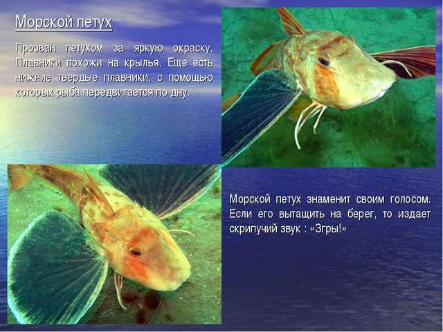 Морской петух Прозван петухом за яркую окраску. Плавники похожи на крылья. Ещ...