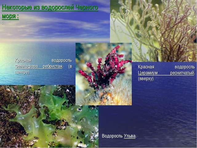 Некоторые из водорослей Черного моря : : Красная водоросль Церамиум реснитчат...