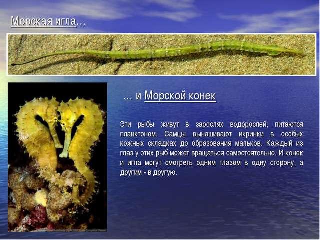 Эти рыбы живут в зарослях водорослей, питаются планктоном. Самцы вынашивают и...