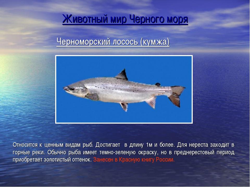 Черноморский лосось (кумжа) Относится к ценным видам рыб. Достигает в длину 1...