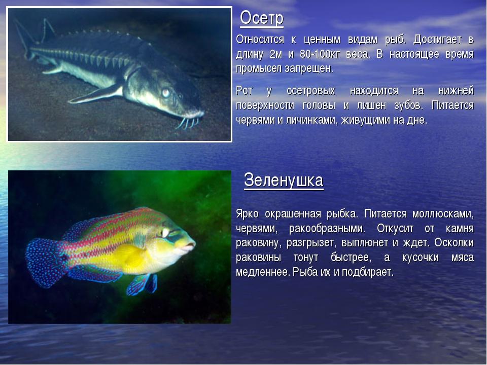 Осетр Относится к ценным видам рыб. Достигает в длину 2м и 80-100кг веса. В н...