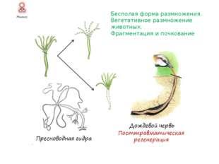 Бесполая форма размножения у шляпочных грибов. А. Размножение спорами. Б. Вег