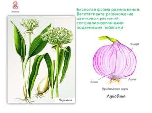 Бесполая форма размножения. Вегетативное размножение цветковых растений неспе