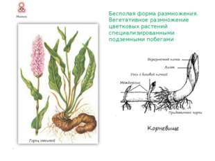 Бесполая форма размножения. Вегетативное размножение цветковых растений специ
