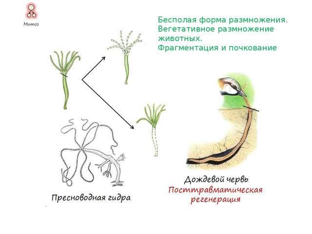 Бесполая форма размножения у шляпочных грибов. А. Размножение спорами. Б. Вег...