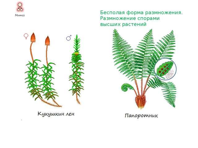 Половая форма размножения. Конъюгация При конъюгации число особей не изменяет...