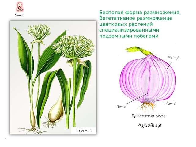 Бесполая форма размножения. Вегетативное размножение цветковых растений неспе...