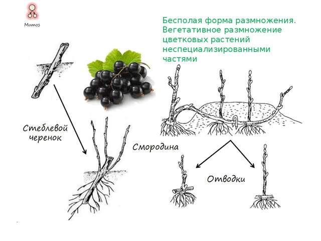 Бесполая форма размножения. Вегетативное размножение цветковых растений специ...