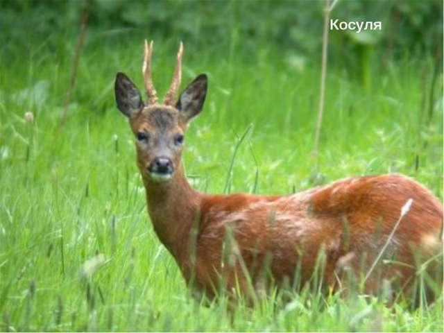 Марал Косуля Природнаязона Высота, м Особенности природы и хозяйственная деят...