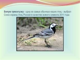 Белую трясогузку- одну из самых обычных наших птиц - выбрал Союз охраны птиц