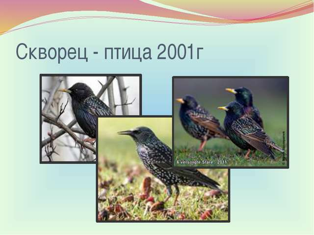 Скворец - птица 2001г