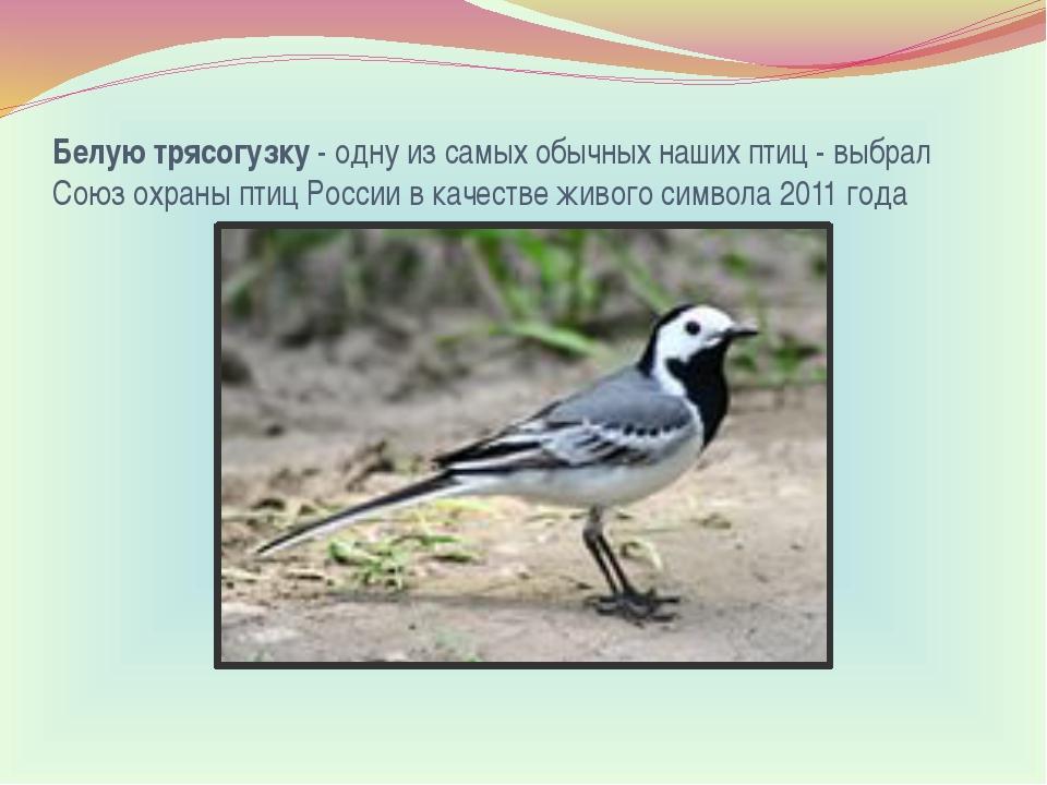 Белую трясогузку- одну из самых обычных наших птиц - выбрал Союз охраны птиц...