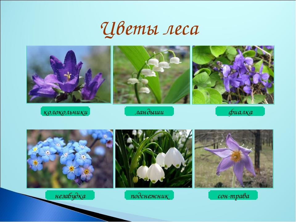 глаз лесные цветы картинки и названия цветов того