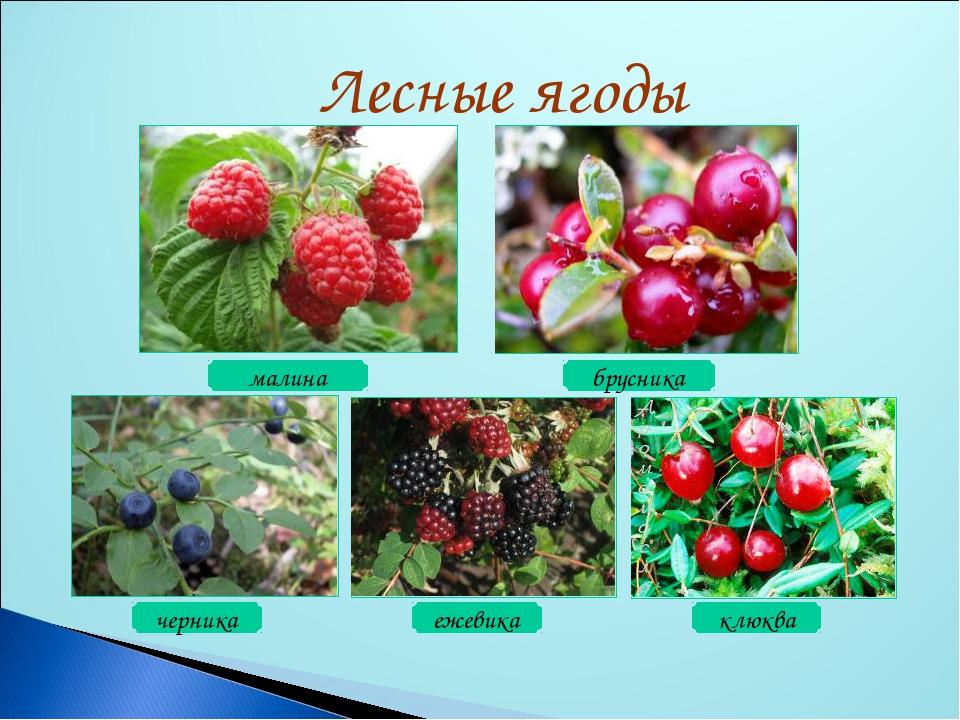 малина клюква ежевика черника брусника Лесные ягоды