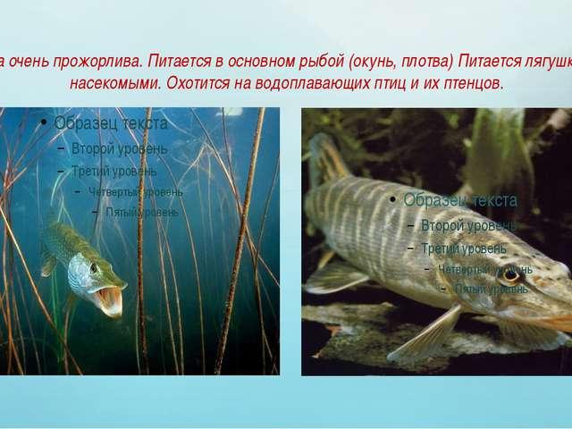 Щука очень прожорлива. Питается в основном рыбой (окунь, плотва) Питается ляг...