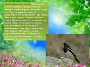 Седоголовая горихвостка(Phoenicurus coeruleocephalus) птица небольшого разм