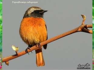 Горихвостка сибирская