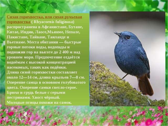 Сизая горихвостка, или сизая ручьевая горихвостка ( Rhyacornis fuliginosa) ра...