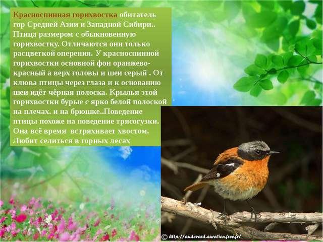 Красноспинная горихвосткаобитатель гор Средней Азии и Западной Сибири.. Птиц...