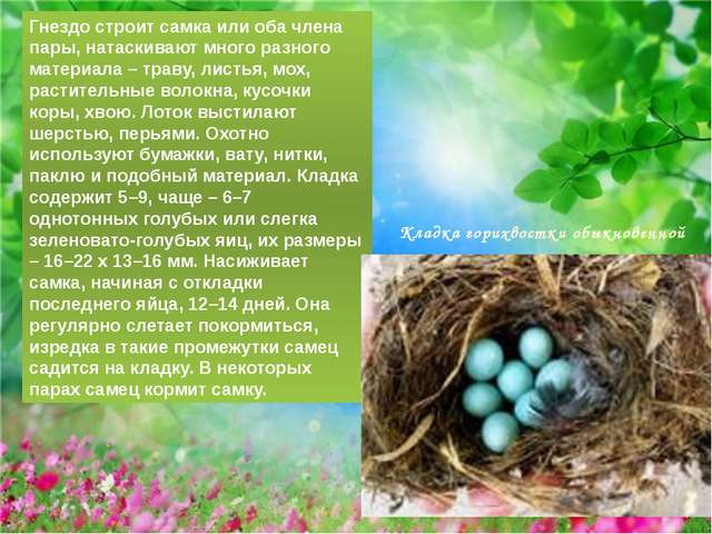 Гнездо строит самка или оба члена пары, натаскивают много разного материала –...