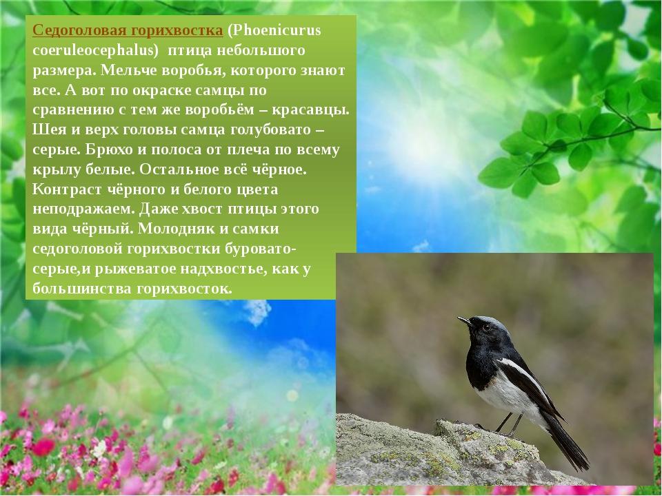 Седоголовая горихвостка(Phoenicurus coeruleocephalus) птица небольшого разм...