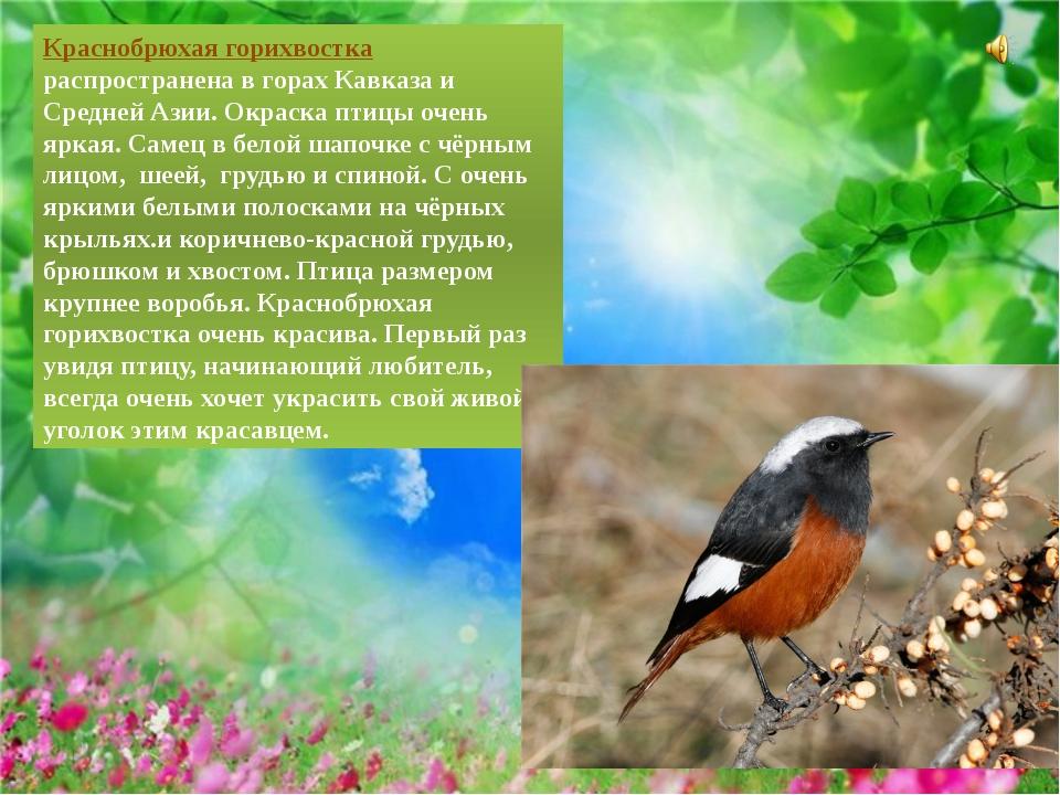 Краснобрюхая горихвостка распространена в горах Кавказа и Средней Азии. Окра...
