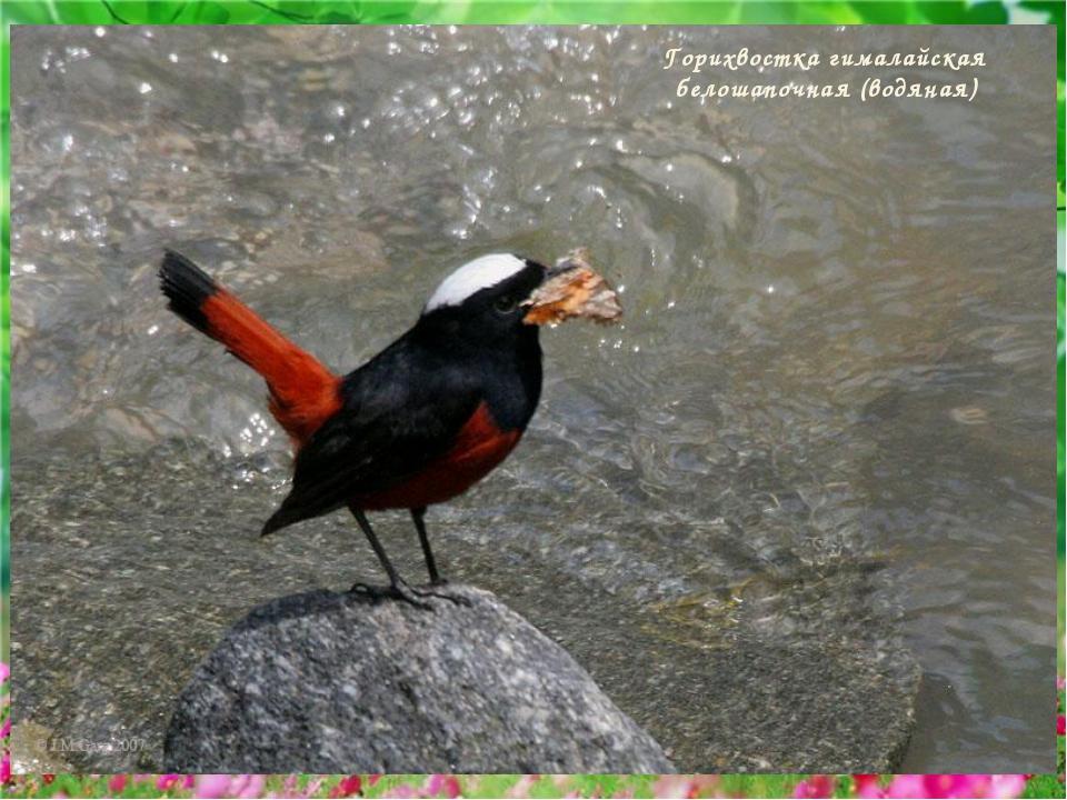 Горихвостка гималайская белошапочная (водяная)