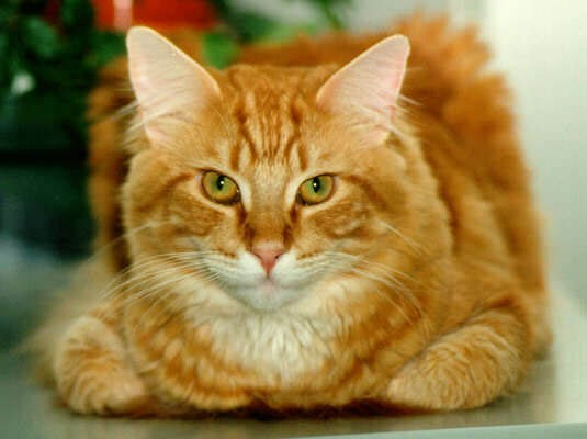 http://pitomecdoma.ru/cat.jpg