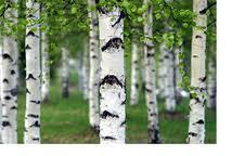 http://daiasolgaia.com/wp-content/uploads/2011/02/birch-trees.jpg