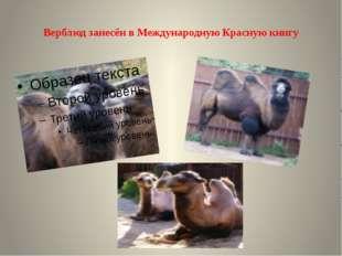 Верблюд занесён в Международную Красную книгу