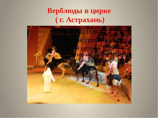 Верблюды в цирке ( г. Астрахань)