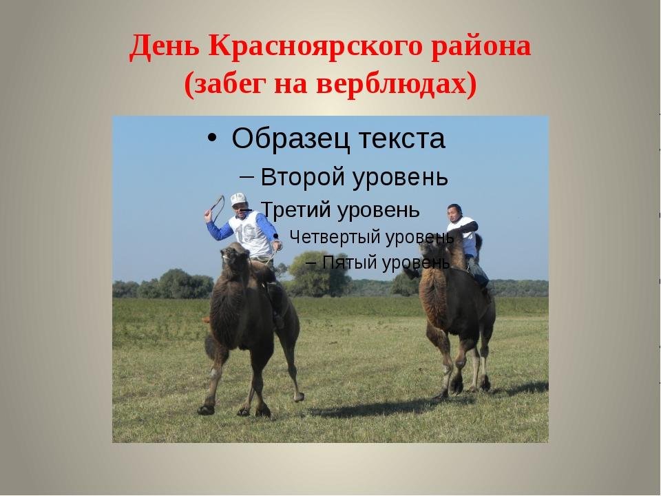 День Красноярского района (забег на верблюдах)