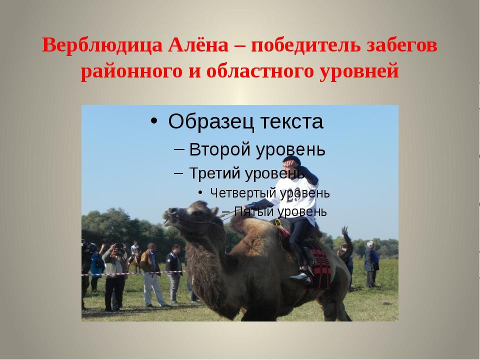 Верблюдица Алёна – победитель забегов районного и областного уровней