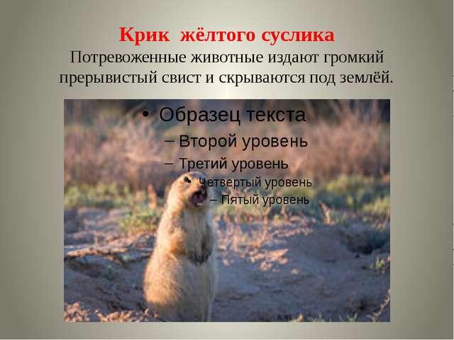 Крик жёлтого суслика Потревоженные животные издают громкий прерывистый свист...