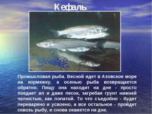 Кефаль Промысловая рыба. Весной идет в Азовское море на кормежку, а осенью ры