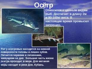 Осётр Относится к ценным видам рыб. Достигает в длину 2м и 80-100кг веса. В н