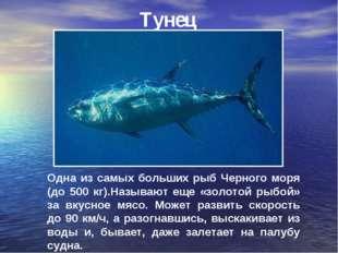 Тунец Одна из самых больших рыб Черного моря (до 500 кг).Называют еще «золото
