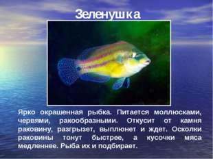 Зеленушка Ярко окрашенная рыбка. Питается моллюсками, червями, ракообразными.