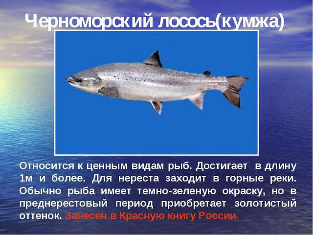 Черноморский лосось(кумжа) Относится к ценным видам рыб. Достигает в длину 1м...