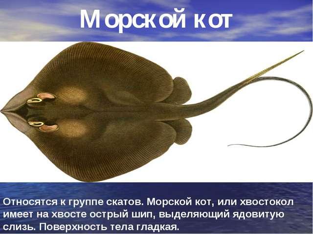 Морской кот Относятся к группе скатов. Морской кот, или хвостокол имеет на хв...